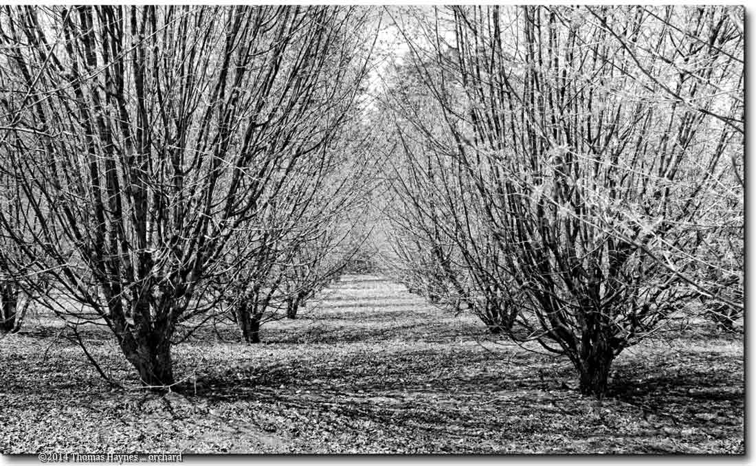 ground level view down tree rows in orchard