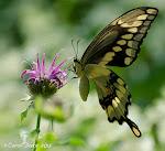 Butterflies of Flower Hill Farm