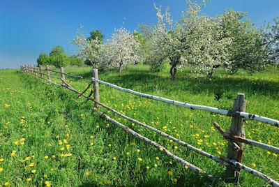 Arboles de manzanas en el prado - Apple trees blossom