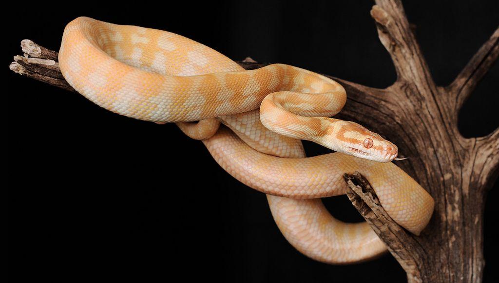 21. Albino darwin carpet python by Sara sternberg