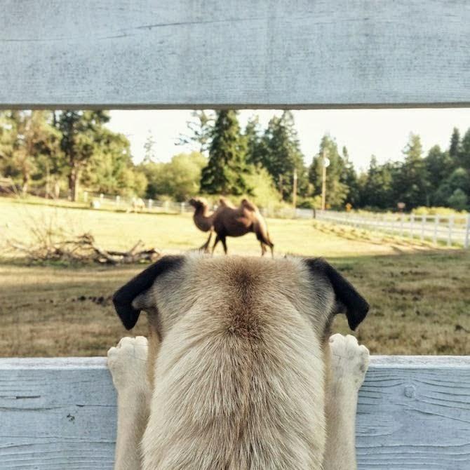 Perros pug razas pequeñas