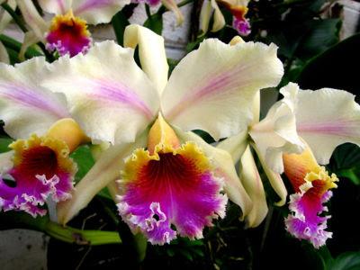 Fotos e imagens de Orquídeas