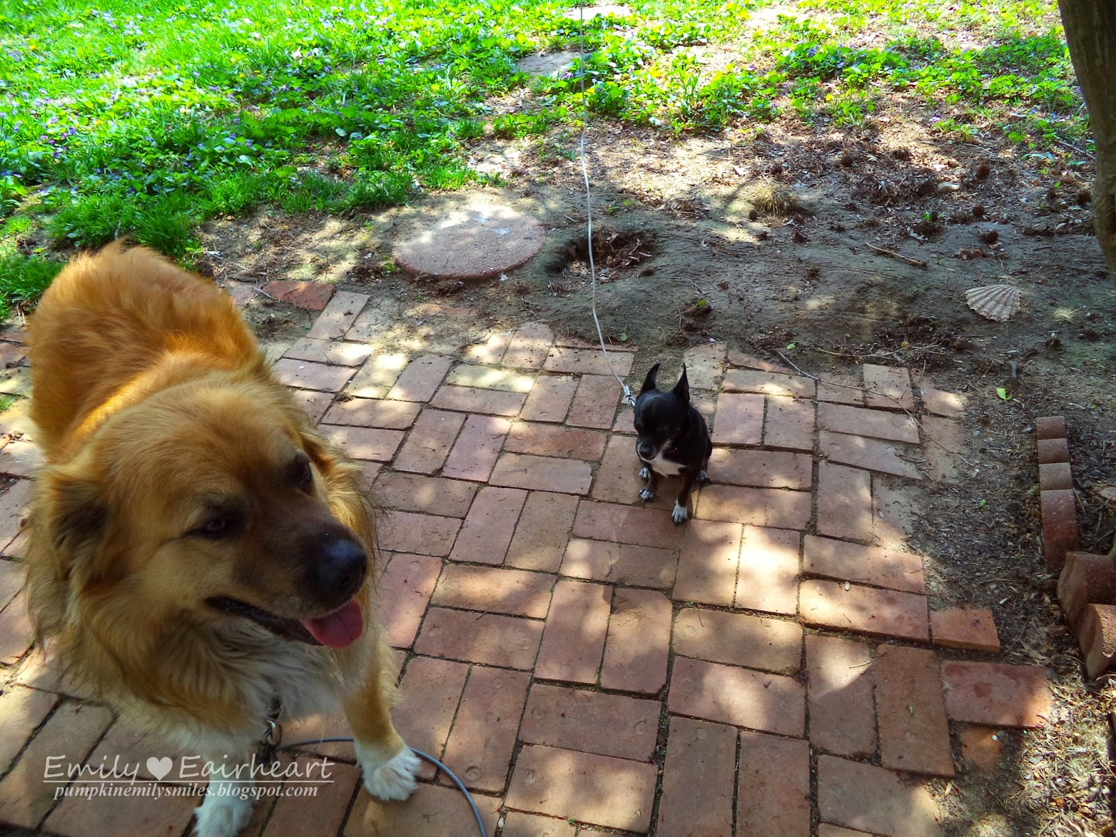 Rocky and Minnie, German Shepherd and Golden Retriever Mix and Chihuahua