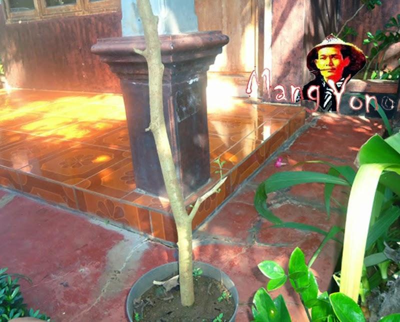 Ini bakalan bonsai serut masih di pot
