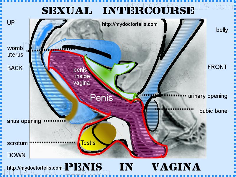 In insert penis vagina