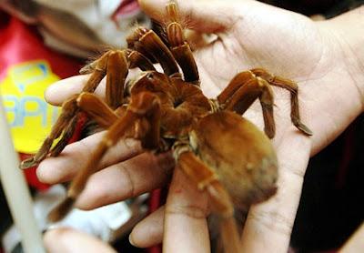 La araña más grande del Mundo: tarántula gigante, tarántula Goliat o tarántula pajarera (Teraphosa blondii). Fotos, videos y reseña.