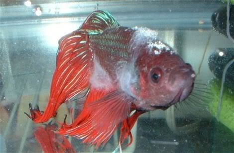 Betta disease bacterial infections nice betta for Cotton wool disease in fish