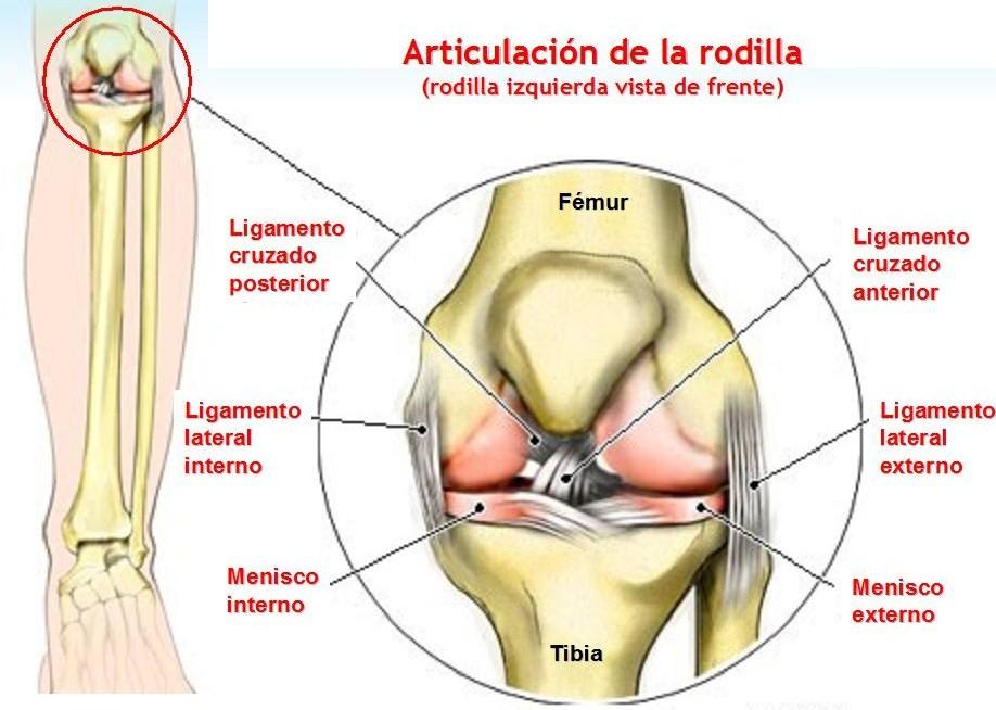 Hermosa Músculos En El área De La Rodilla Composición - Anatomía de ...