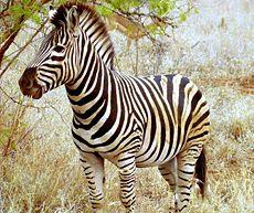 fotos de Cebras