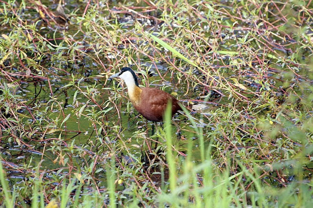 African Jacana in the Abuko Nature Reserve