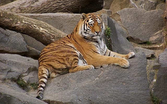 Fotos de Tigres Guepardos Descanzando en las Rocas - Imagenes de Animales Salvajes