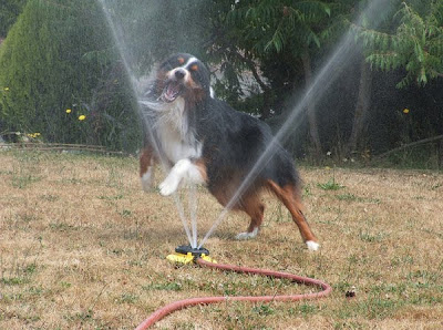 Dogs and Sprinklers Seen On www.coolpicturegallery.us