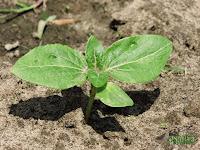 Sunflower seedling siewka słonecznika