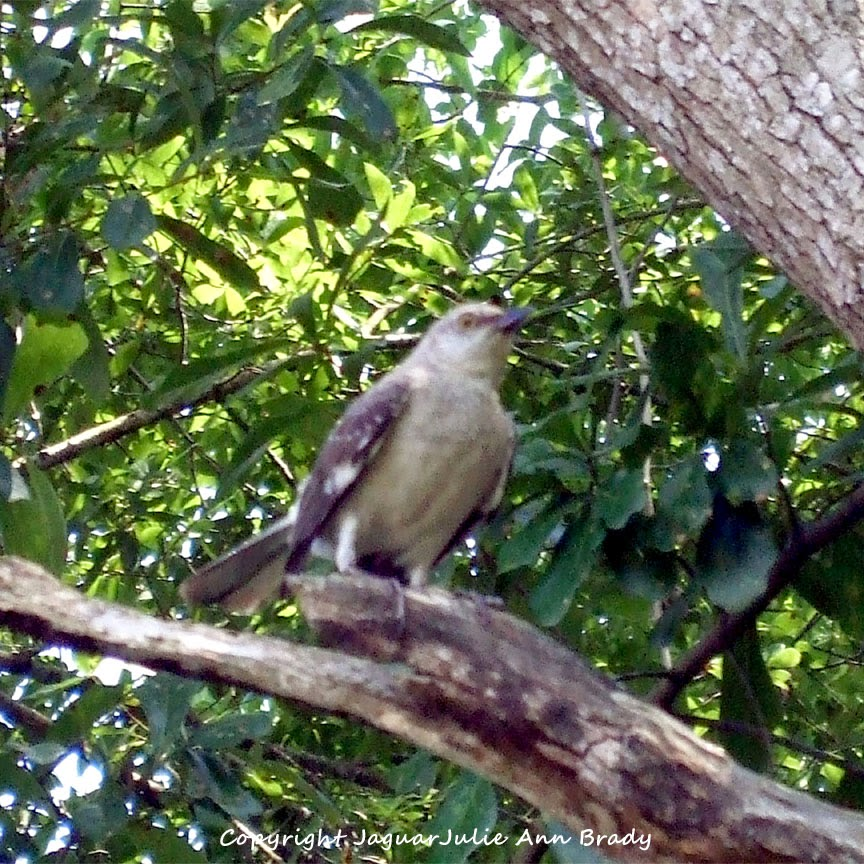 Adult Mockingbird Protective Behavior 8