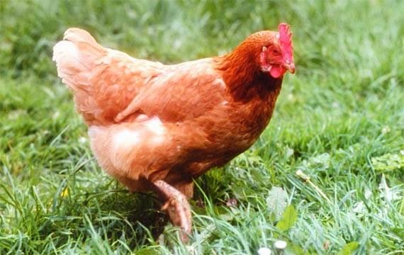 earl elevage avicole de la boutonne 05 46 33 20 07 poules. Black Bedroom Furniture Sets. Home Design Ideas