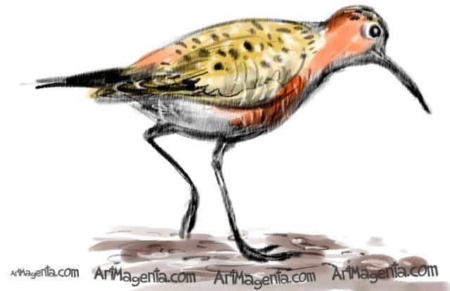 Curlew Sandpiper sketch painting. Bird art drawing by illustrator Artmagenta