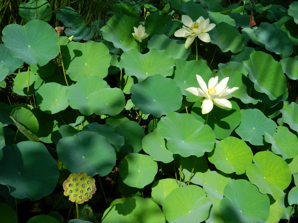 Asian Garden lotus Naples Botanical Garden by garden muses-a Toronto gardening blog
