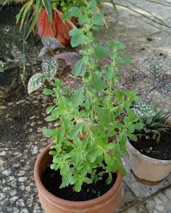 گیاهان طبیعت و باغچه های لاهیجان  روی عکس را کلیک بفرمایید