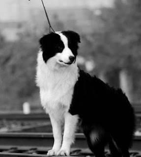 border collie information pictures