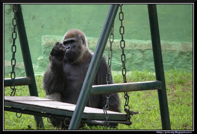 Gorilla, Mysore Zoo