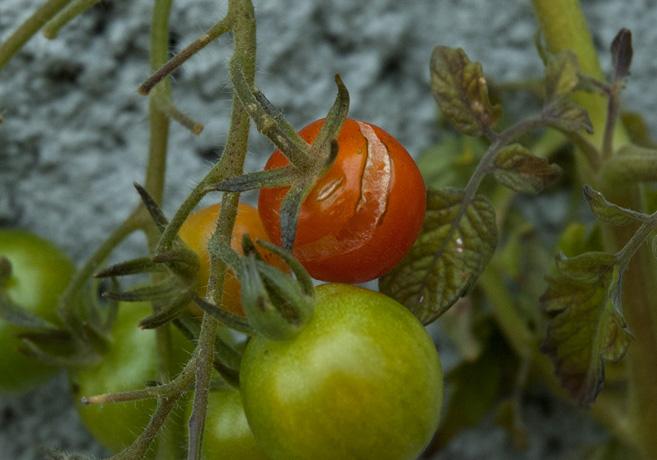 Röd tomat med sprucket skal som hänger på en tomatkvist.