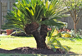 Sago palm can be propagated by cuttings suckers