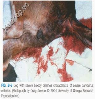 Hình 3: Đi tiêu ra máu trong bệnh do parvovirus