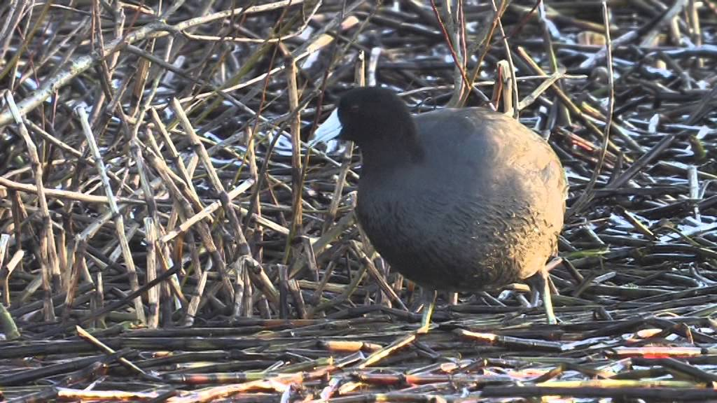 AMERICAN COOT-LOCH FLEMINGTON-HIGHLAND-8TH JANUARY 2014