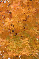 golden maple leaves in fall
