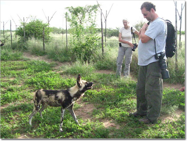 African Painted Dog For Sale