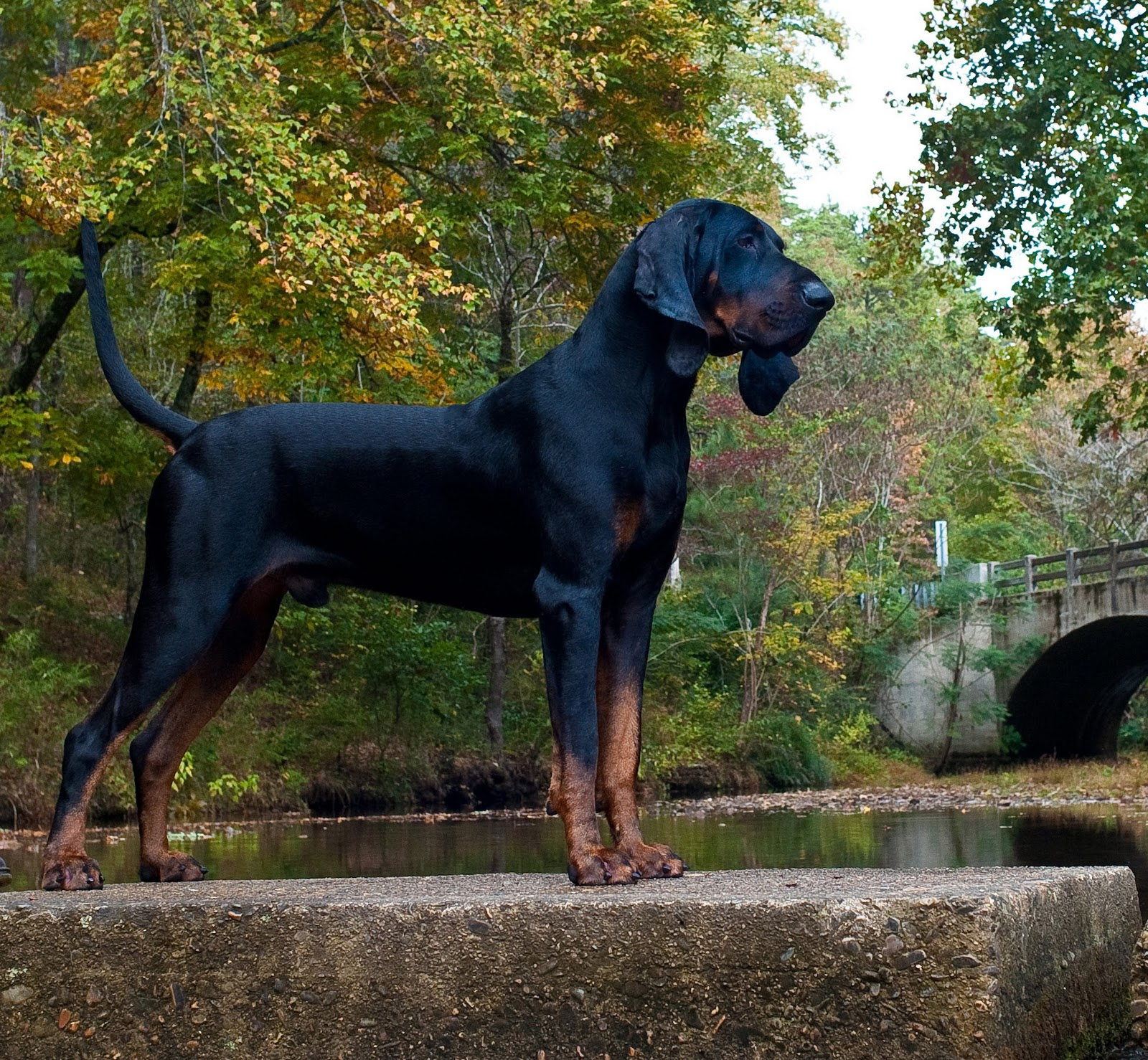 Male Black and Tan Coonhound dog hunting in the forest