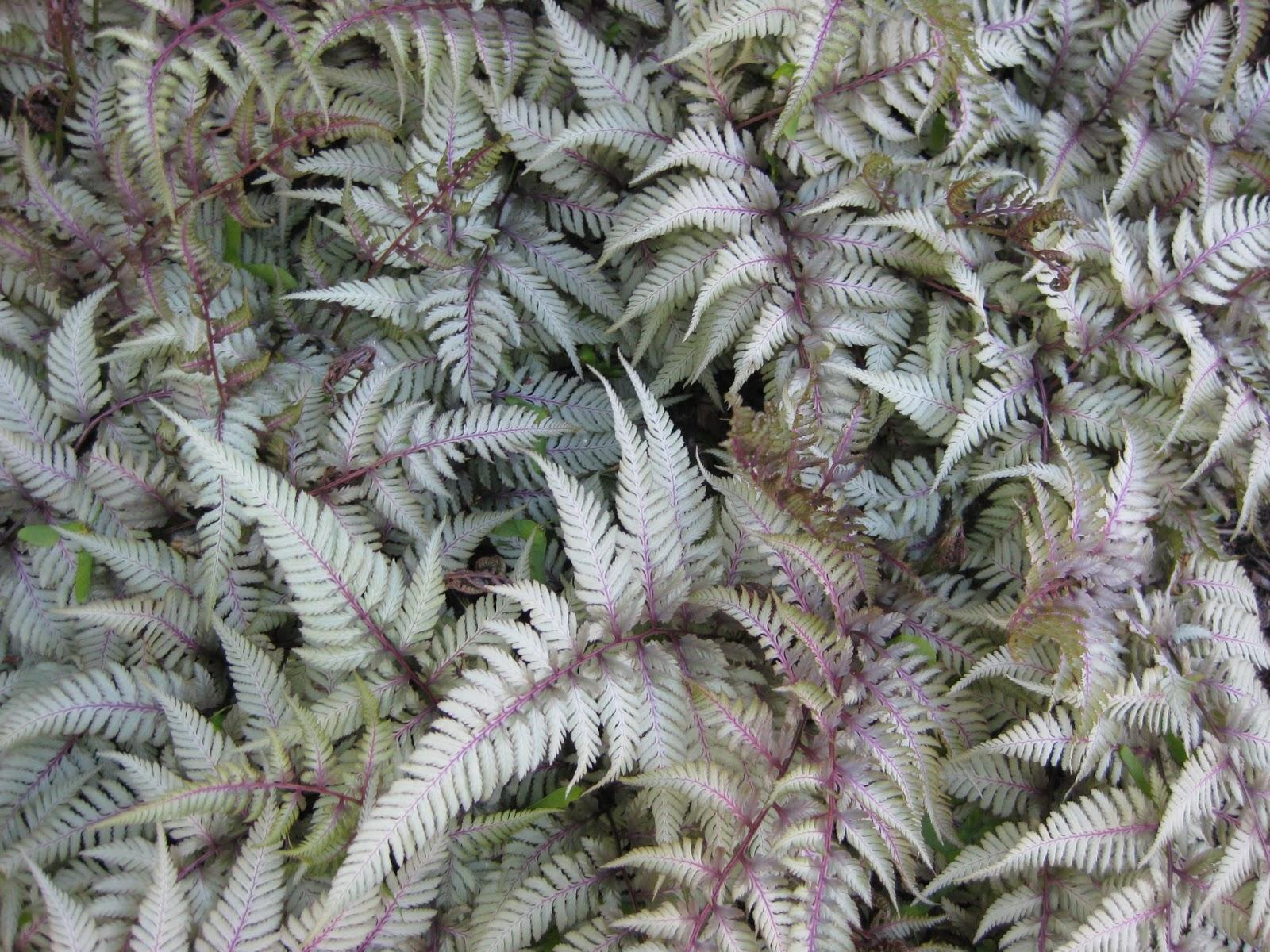 japanese painted ferns mark u0027s garden ruminations