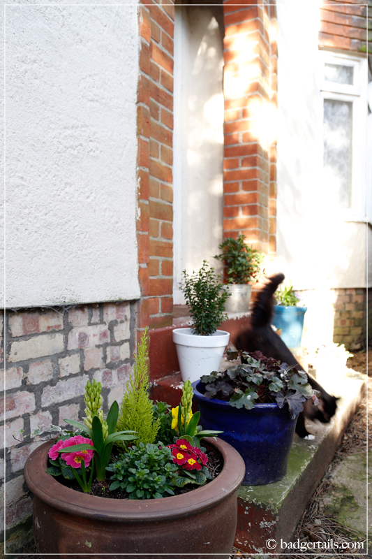 Spring flower display on doorstep with cat