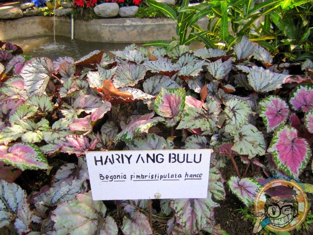 Hariyang bulu - Taman pustaka bunga kandaga puspa