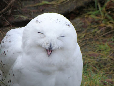 Laughing Owls Seen On www.coolpicturegallery.us