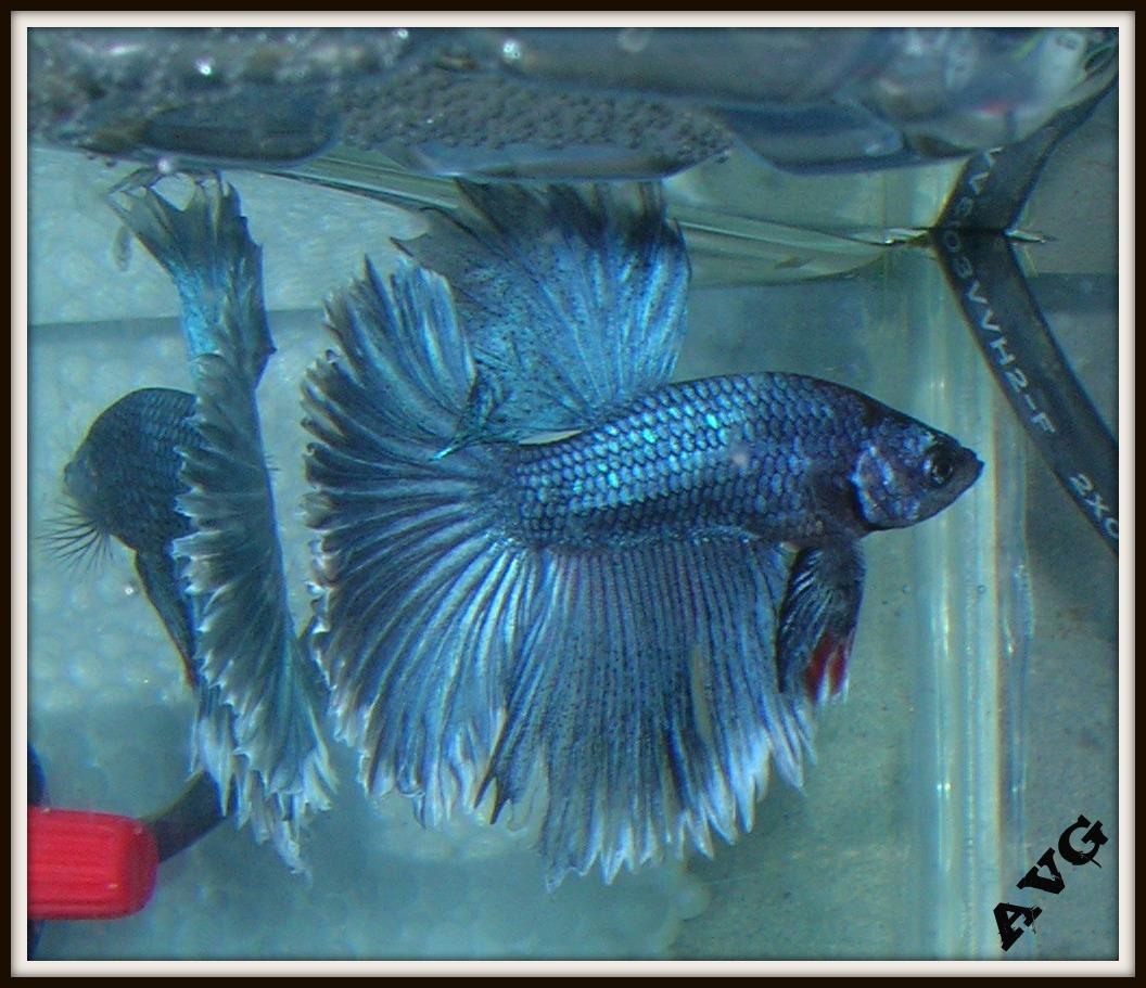 Aar n bettas peces que mantengo ahora en casa for Cria de peces en casa