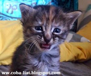 kucing-imut-dan-lucu