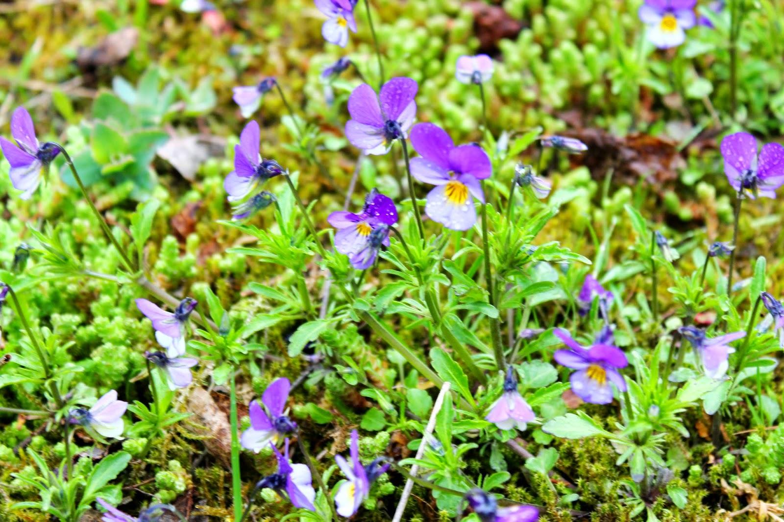Violets | Alinan kotona blog