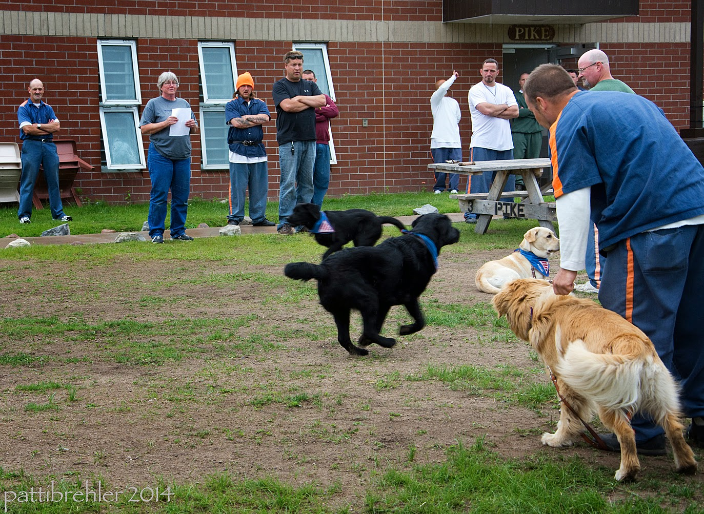 There are several men and the woman standing in the background watching as two black labs run past each other from opposite directions. A goldne retriever is standing up on the right side like he is trying to reach the running puppies, but a man dressed in the blue prison uniforms is holding his collar. A yellow lab in the background is lying on the ground.