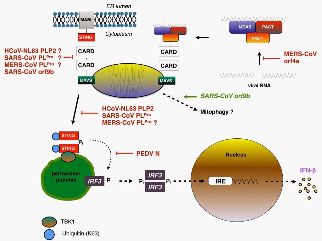 Virology tidbits: Coronavirus PLpro, PLP2, and N: taking a ... Coronavirus Replication