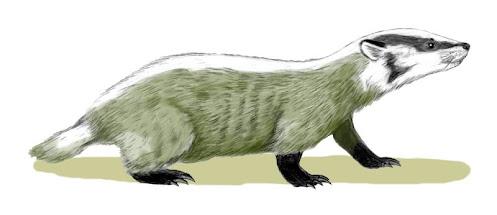 mustelidae fosil Chamitataxus