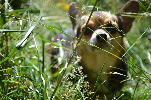 corgi, dog, nature, photography, fleur d'elise, lifestyle