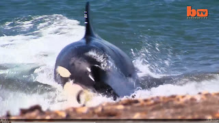 Orca attack in Peninsula Valdes