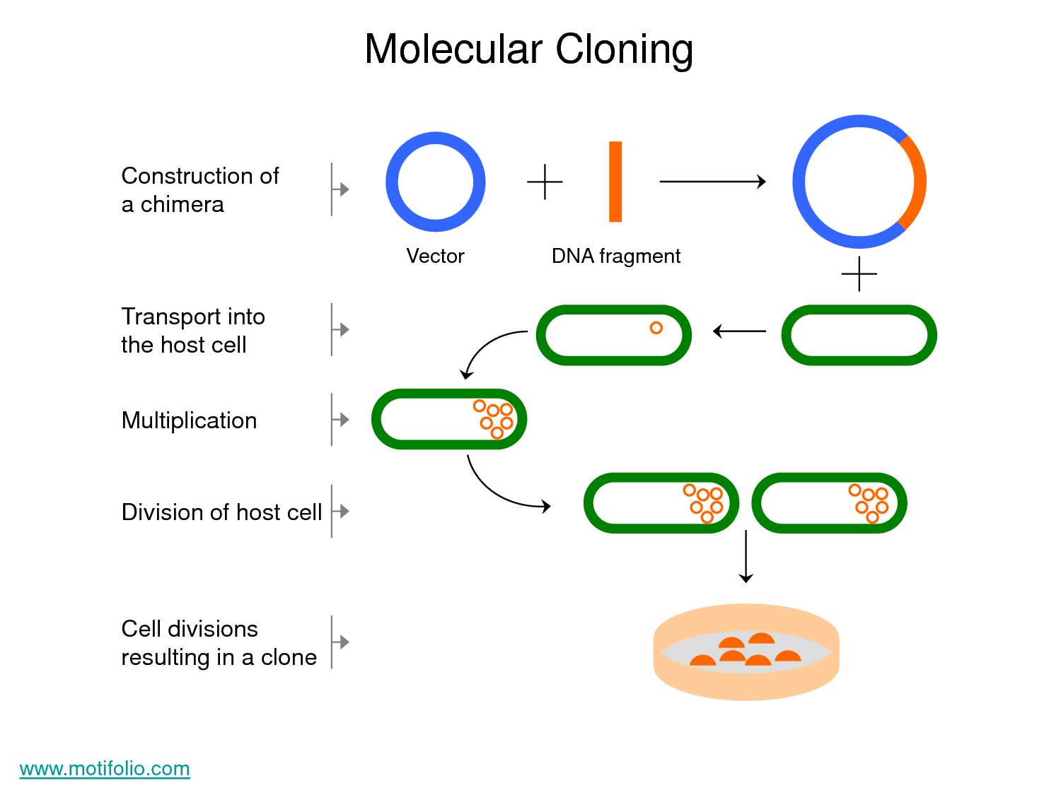 dna cloning Definition, purpose, and basic steps of dna cloning.