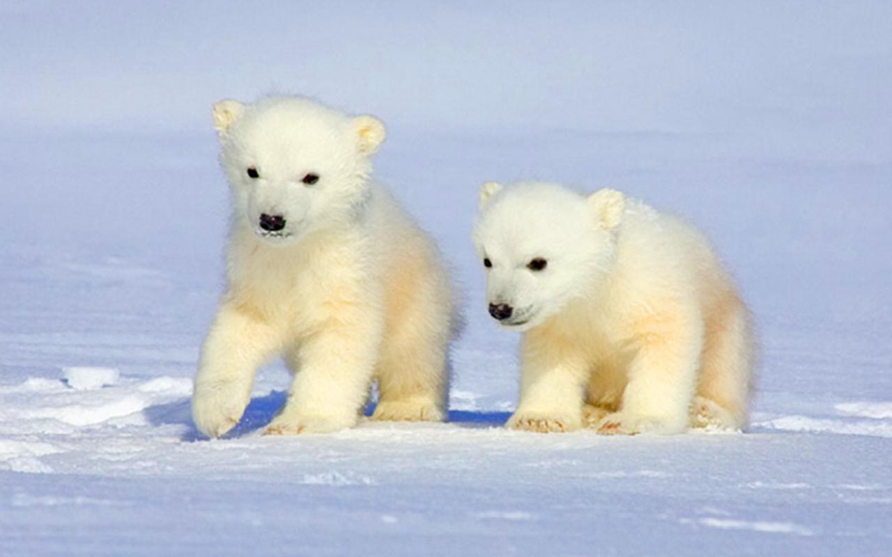 Imagini cu Ursi Polari
