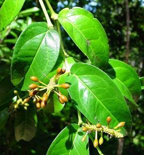 Uziza leaves false cubeb leaves