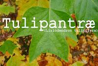 http://kolonihavelivet.blogspot.dk/2015/11/tulipantr-liriodendron-tulipifera.html