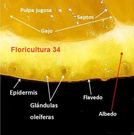 Floricultura 34: Aceite Esencial de Naranjo Dulce