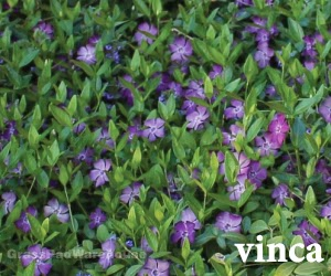 The grass rhizome shade tolerant perennials and ground covers an excellent evergreen ground cover for part sun or shade areas perennial vinca bloom in early spring mightylinksfo