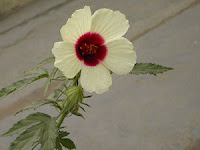Edible Flower List - Hibiscus